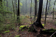 Forest chill (duncanmc42) Tags: mist misty winter wintery cold chill chilly trees beech leaves moss mossy nelsonlakes nationalpark reserve naturepreserve southisland newzealand duncancunningham duncamc42 olympus em5 microfourthirds outdoor forest ilobsterit