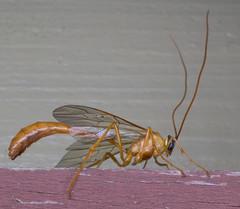 Ichneumon Wasp (Enicospilus purgatus) (Ideaphore) Tags: insect ichneumon wasp