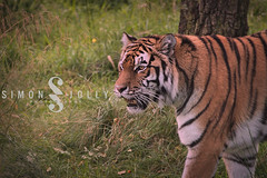 Highland/Kincraig Wildlife Park (simonjollyphotography) Tags: simonjollyphotography simon jolly photography photographer sony a77 slt scotland uk outside highland kincraig wildlife park nature animals cute visitscotland tiger big cat