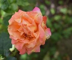 Rose (Bebopgirl1969) Tags: rose orange yellow pink green flower garden