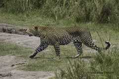 Male Leopard Strides Out Of The Long Grass (brucefinocchio) Tags: maleleopardstrides leopardstriding longgreengrass greengrass maleleopard leopard rivercourse opening serengetinationalpark tanzania eastafrica