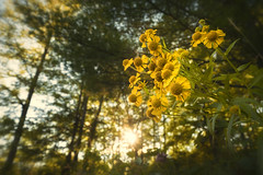 Wildflowers at sunset. (pjr100) Tags: sunset wildflower flower wild nature backlit light glow madawaska river ontario lanark county