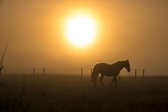 Horse in the Mist (Infomastern) Tags: sdersltt countryside dimma fog horse hst landsbygd landscape landskap mist soluppgng sunrise