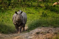 Rhino Alert (Subhadip C, AFIAP) Tags: rhino rhinoceros unicornis kaziranga national park assam india subhadip wildlife birds grass light