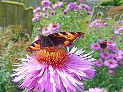 Tortoishelle Butterfly (eric robb niven) Tags: ericrobbniven scotland aster flowers dundee tortoishelle butterfly macro flower summerwatch