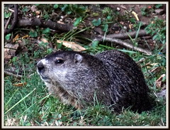 (uncle mike in knoxville) Tags: groundhog woodchuck campus