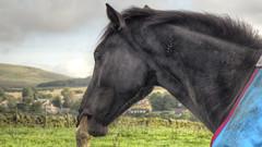 Gnawing (Jay-Aitch) Tags: lumix g vario 14140f3556 black horse chewing stallion steed gnawing panasonic gx8