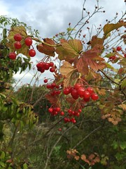 20160904_Pflanze_004 (weisserstier) Tags: frucht beere gemeinerschneeball viburnumopulus busch strauch pflanze plant marchfeldkanal