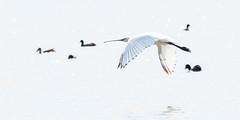 lepelaar (buntehof) Tags: lepelaar birds portugal salgados highkey whitebackground monochrome