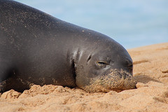 Nap time (russ david) Tags: hawaiian monk seal nap time kauai shipwrecks beach september 2016 hawaii hi ocean pacific