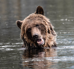 not so sure about this bath !! (wesleybarr1962) Tags: grizzly grizzlybear