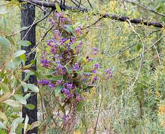 160924_Warrumbungles_5631.jpg (FranzVenhaus) Tags: trees creek countrybush plants cliffs australia mountains warrumbungles nsw water newsouthwales wilderness rocks aus
