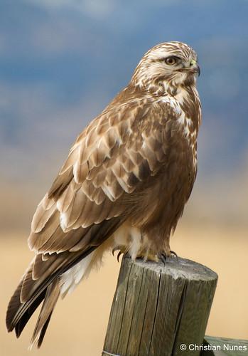 Photo - Rough-legged Hawk