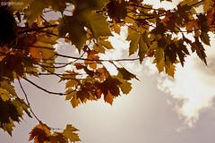 Tras la luz (ángel mateo) Tags: autumn sky españa brown hoja yellow leaf andalucía spain branches amarillo cielo otoño almería ramas alcolea marrón ángelmartínmateo ángelmateo