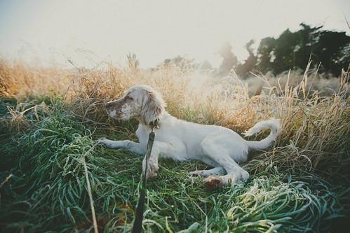 dog field puppy rosemary flare 5d setter englishsetter swaffham mk3 5dmk3 highqualitydogs