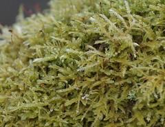 Tree Moss (Rovers number 9) Tags: uk england nature moss december minolta bokeh sony dec lancashire 2012 a65 minoltaaf100200f45 bkhq sonya65