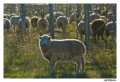 0019 - 0508 (Alf Ribeiro) Tags: brazil animal brasil digital rural dia capim alimento rs cor riograndedosul amricadosul agricultura rebanho pecuria ovelhas lavoura ovino agrcola agronegcio parreira parreiral dompedrito alfribeiro