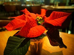 Star (maistora) Tags: xmas light red plant flower color colour detail green texture floral beautiful yellow closeup bar festive season table religious star design cafe flora dof phone image symbol bokeh vibrant quality interior postcard sony poinsettia decoration vivid indoor relief resolution iq bethlehem greeting secular android app available exmor 12mp maistora afterfocus xperia picsay flickrandroidapp:filter=none xperias
