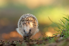 Hedgehog on a Mission (Roeselien Raimond) Tags: light cute nature netherlands animal canon mammal dof bokeh pov young running 7d daytime hedgehog naturephotography egel natuurfotografie erinaceinae roeselienraimond