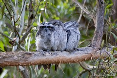 Tawny Frogmouth family (kathiemt1) Tags: tree grey shadows branches streaked avian birdwatcher tawnyfrogmouth podargusstrigoides australianbirdlife freedomtosoarlevel1birdphotosonly freedomtosoarlevel1birdsonly