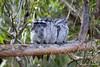 Tawny Frogmouth family (kathiemt1) Tags: tree grey shadows branches streaked avian birdwatcher tawnyfrogmouth podargusstrigoides australianbirdlife freedomtosoarlevel1birdphotosonly freedomtosoarlevel1birdsonly