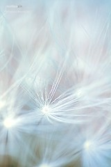 The wind (Mainphoto) Tags: light snow emotion delicate luce vento leggero delicato dendelion