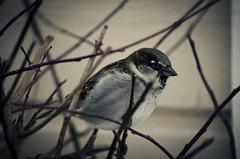 Bird 2 - Grsparv (Joelthor100) Tags: test bird nature animal photoshop photo nice nikon zoom sweden first karlstad 2012 55300 d5100