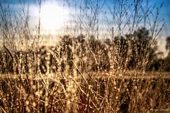 The Winter Blades (c. Melon Images) Tags: christmas xmas morning winter grass forest canon landscape golden december dof bokeh nj explore handheld 2012 pinebarrens coastalplain markiii explored whitesbog brendanbyrne 5dmarkiii