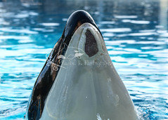 Nakai (rachface_22) Tags: orca seaworld shamu killerwhale cetacean olympuse520 zuikoolympusdigital50200mmf2835