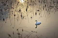 Twilight of winter (K16mix) Tags: winter lake nature japan landscape swan asia lotus swamp     miyagi tohoku  touhoku    izunuma     ramsarconvention tomeshi  kuriharashi gettyimagesjapan12q4