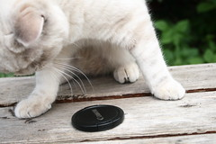 013 (piaktw) Tags: camera cat canon garden kitten tail britishshorthair lid colourpoint ztina luddkolts bluetortietabby