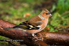Chaffinch (Nigel Dell) Tags: winter birds flickr wildlife places hampshire fsg ngdphotos