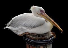 Mykonos Pelican (After). Nikon D3100. DSC_0532. (Robert.Pittman) Tags: bird blackbackground pelican greece mykonos wastebin afsdxnikkor1855mmf3556gvr thewonderfulworldofbirds iamnikon d3100 nikond3100