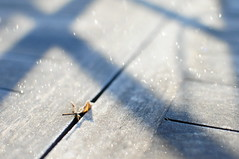 Feuille frique - 2013-004 - W01 (fred_v) Tags: winter frozen leaf hiver jasmin gel feuille sooc