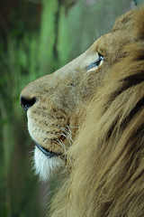 Afrikaanse Leeuwen (K.Verhulst) Tags: leeuwen lions cats africanlions afrikaanseleeuwen dierenparkamersfoort amersfoort rubyphotographer ruby10 ruby15 kat cat