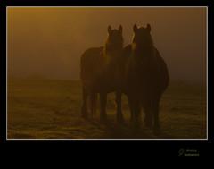 Caballos en la niebla (Argayu) Tags: contraluz caballos asturias amanecer llanera niebla lugodellanera asturies seleccionar borrin alborecer borrina contralluz vosplusbellesphotos lucusasturum yegüas
