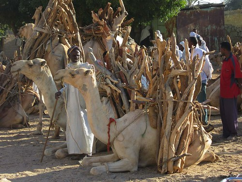 Camels with Firewood