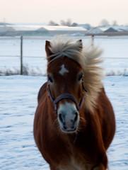 Sneeuw - Pret (gill4kleuren - 12 ml views) Tags: life horse snow me sarah fun outside happy lol sneeuw running gill saar paard haflinger
