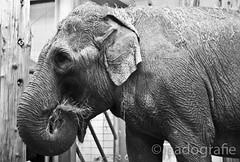 elephant (padografie) Tags: por