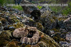 Crotalus viridis oreganus (Primeval Nature) Tags: usa nature horizontal washington day outdoor reptile snake threatening wildlife jag grandcoulee viper snakes rattlesnake crotalusviridis threat reptiles venomous rattler crotalus reptilia fullbody grantcounty crotalinae viperidae pitviper northernpacificrattlesnake crotalusviridisoreganus defensivebehaviour defensivebehavior threatposture jagsubmjan2013