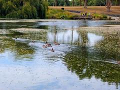 Auckland Botanical Gardens, Manurewa, South Auckland, New Zealand (Sandy Austin) Tags: newzealand lake ducks northisland manurewa aucklandbotanicalgardens southauckland sandyaustin panasoniclumixdmcfz40