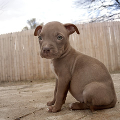 Peanut Jr. (Immature Animals) Tags: sky rescue baby cute animal nose eyes muscle adorable ears center pit pitbull pima bark strong brindle care sick tough petco neuter petfinder spay koalition pacc petcofoundation barktucson highqualitydogs backpacc