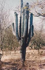 Cactus solitario (pitayapitahaya) Tags: puebla pitaya stenocereus mixteca