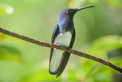White-necked Jacobin - Male - 2274 (Len Blumin) Tags: male hummingbird tobago whiteneckedjacobin florisugamellivora