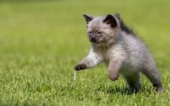 Twilight (Padrone) Tags: rescue cats pets cute grass cat twilight kitten bokeh adorable kitty fluffy 70200mmf28lis impressedbeauty