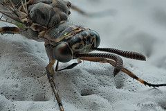 Gefleckte Ameisenjungfer (Euroleon nostras) - Detailaufnahme (AchimOWL) Tags: macro nature insect deutschland lumix tiere outdoor wildlife ngc natur panasonic stacking makro insekt tier neuroptera insecta myrmeleontidae ameisenlwe ameisenjungfer gx80 macrodreams postfocusstack