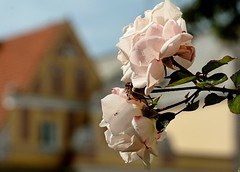 Zwischen dem Regen (simson60) Tags: rosen eutin tiefenschrfe blumen altstadt flower dof