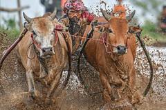 s Jul30_PJ_DSC_6166 (Andrew JK Tan) Tags: pacujawi tanahdatar sumatra racing cows 2016 indonesia
