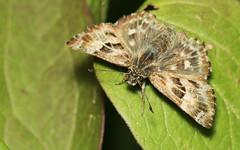 Kaasjeskruiddikkopje_Carcharodus_alceae (bdeclerc) Tags: macro vlinders lepidoptera butterflies