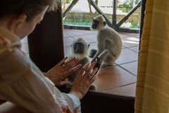 Banino_20160326-150522 (airbreather) Tags: habarana northcentralprovince srilanka animal mammal primate monkey tufted gray langur semnopithecus priam morgan